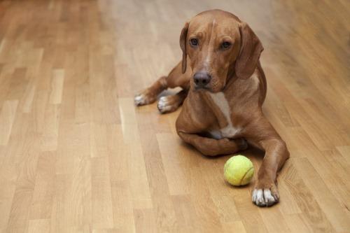 כלב יושב על פקרט למינציה